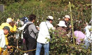 柏原コットンファームプロジェクトで綿の収穫祭