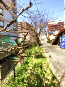 国分西の桜