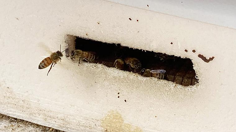 山国ぶどう園ミツバチ