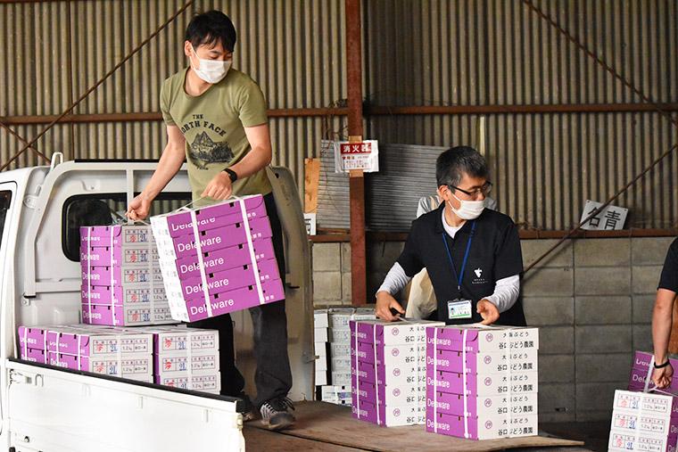 柏原ぶどうの季節が始まる。名産デラウェアが国分から初出荷