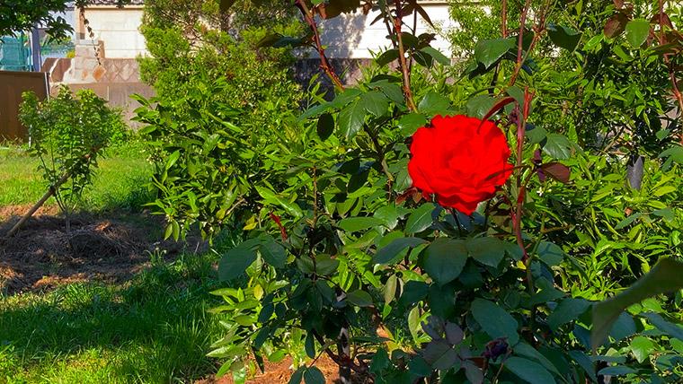 柏原の畑で見かけた薔薇