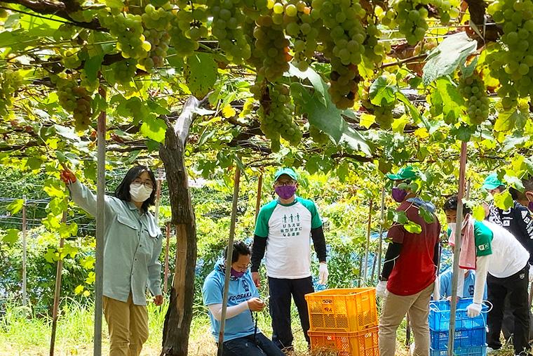 ぶどう収穫ボランティア