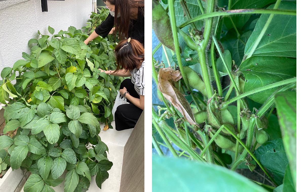ネスト園芸部でつくられた枝豆を収穫